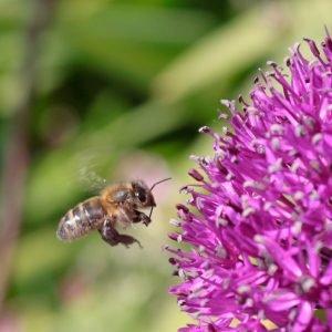 Bee Flying to Allium